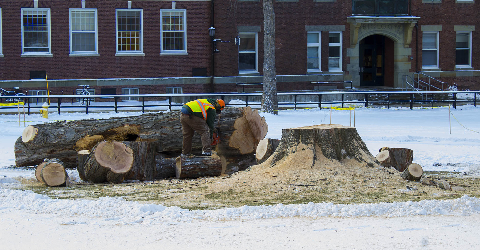 The science quad sugar maple is deconstructed, January 9, 2015. Photo by Cecilia Castellano '16